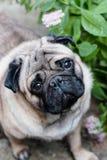 behandla som ett barn mops Dog mops Stäng sig upp framsida av en mycket gullig mops royaltyfri fotografi