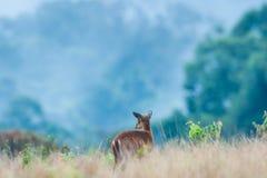 Behandla som ett barn Muntjac eller hjortar i grässlätten i regnig säsong Tropisk skog i mistbakgrunderna khaonationalpark yai UN royaltyfria foton