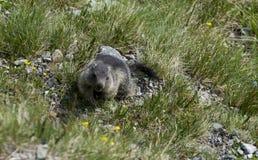 Behandla som ett barn murmeldjuret Murmeltier Arkivfoto