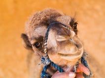 Behandla som ett barn nära övre för kamel Royaltyfri Foto
