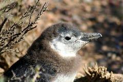 Behandla som ett barn nära övre för pingvin Royaltyfri Foto