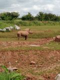 Behandla som ett barn noshörningen Royaltyfri Bild
