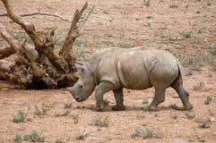 behandla som ett barn noshörningen Royaltyfria Bilder