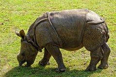 behandla som ett barn noshörningen Arkivbilder