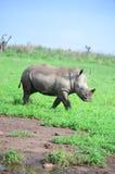 Behandla som ett barn noshörningen Royaltyfri Fotografi