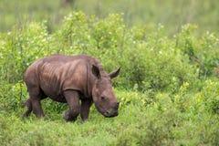 Behandla som ett barn noshörningen i Sydafrika Arkivbilder