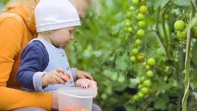 Behandla som ett barn, och farmodern väljer tomater stock video