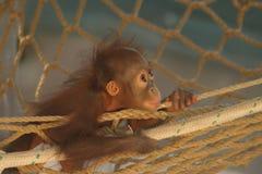behandla som ett barn orangutanen Arkivfoton