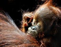 behandla som ett barn orangutanen Royaltyfri Fotografi