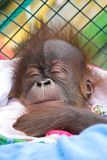 behandla som ett barn orangutanen arkivbilder
