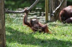 behandla som ett barn orangutanen Arkivfoto