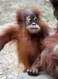 behandla som ett barn orangutanen royaltyfri foto