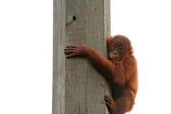 behandla som ett barn orangutanen Arkivbild