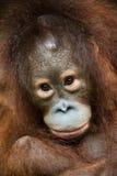 behandla som ett barn orangutanen Royaltyfri Bild