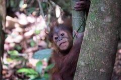 Behandla som ett barn orangutanget royaltyfria foton