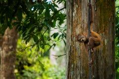 Behandla som ett barn orangutanget Arkivfoton