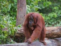 Behandla som ett barn orangutanget mousserar det lyckliga leendet (Indonesien) Royaltyfri Foto