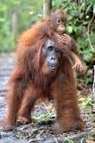 Behandla som ett barn orangutanget på mother& x27; s tillbaka i en naturlig livsmiljö Bornean eller arkivfoto