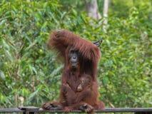 Behandla som ett barn orangutanget som kramar hans modersammanträde bredvid henne (Indonesien) Arkivfoto