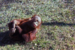 Behandla som ett barn orangutanget som spelar i gräs Fotografering för Bildbyråer