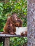 Behandla som ett barn orangutangfrukosten på en träplattform (Indonesien) Fotografering för Bildbyråer