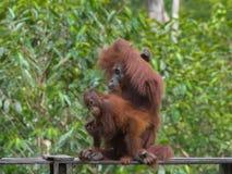 Behandla som ett barn orangutangkrypanden runt om hans röda mamma (Indonesien) Arkivfoto