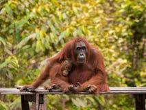 Behandla som ett barn orangutangsammanträde bredvid hennes moder (Borneo) Fotografering för Bildbyråer