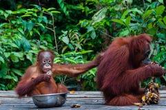 Behandla som ett barn orangutangUtan sammanträde i en bunke och hans moder Arkivbild