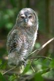 behandla som ett barn owlen arkivfoto