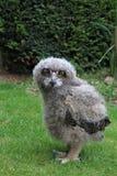 behandla som ett barn owlen Royaltyfri Fotografi