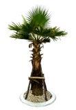 Behandla som ett barn palmträdet Arkivbilder