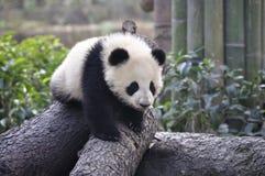 behandla som ett barn pandaen Fotografering för Bildbyråer
