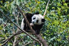 behandla som ett barn pandaen Arkivfoton