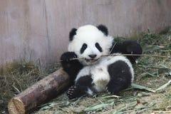 Behandla som ett barn pandan royaltyfria foton