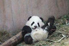 Behandla som ett barn pandan arkivfoton
