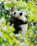 Behandla som ett barn pandan på trädet arkivbild