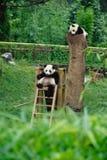 behandla som ett barn pandas Arkivfoton