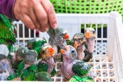 Behandla som ett barn papegojor äter bananen i den till salu marknaden Arkivfoto