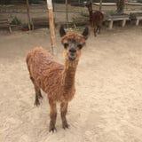Behandla som ett barn peruansk Alpaca som ler Vicugnapacos Royaltyfria Bilder