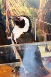 Behandla som ett barn pingvinet Royaltyfri Fotografi