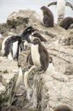 Behandla som ett barn pingvinet Arkivbild