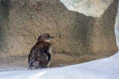 Behandla som ett barn pingvinet Arkivfoto
