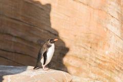 Behandla som ett barn pingvinet som anseendet solbadar på kuststenen Royaltyfria Foton