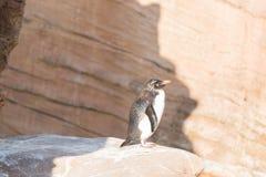 Behandla som ett barn pingvinet som anseendet solbadar på kuststenen Arkivfoto