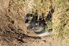 Behandla som ett barn pingvinet, Sydafrika Fotografering för Bildbyråer