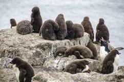 Behandla som ett barn pingvinkolonin Royaltyfri Bild