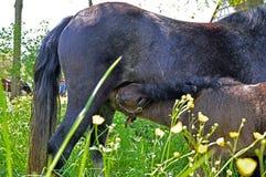 Behandla som ett barn ponnysjukvård royaltyfria bilder