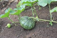 Behandla som ett barn pumpa som växer i trädgården under sommaren Ung pumpa som är fullvuxen i trädgården Arkivbilder
