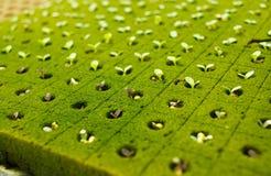 Behandla som ett barn purpurfärgad grönsallat Royaltyfria Foton