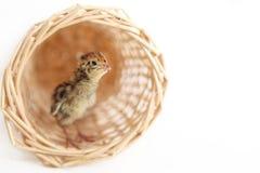 behandla som ett barn quail Royaltyfri Foto